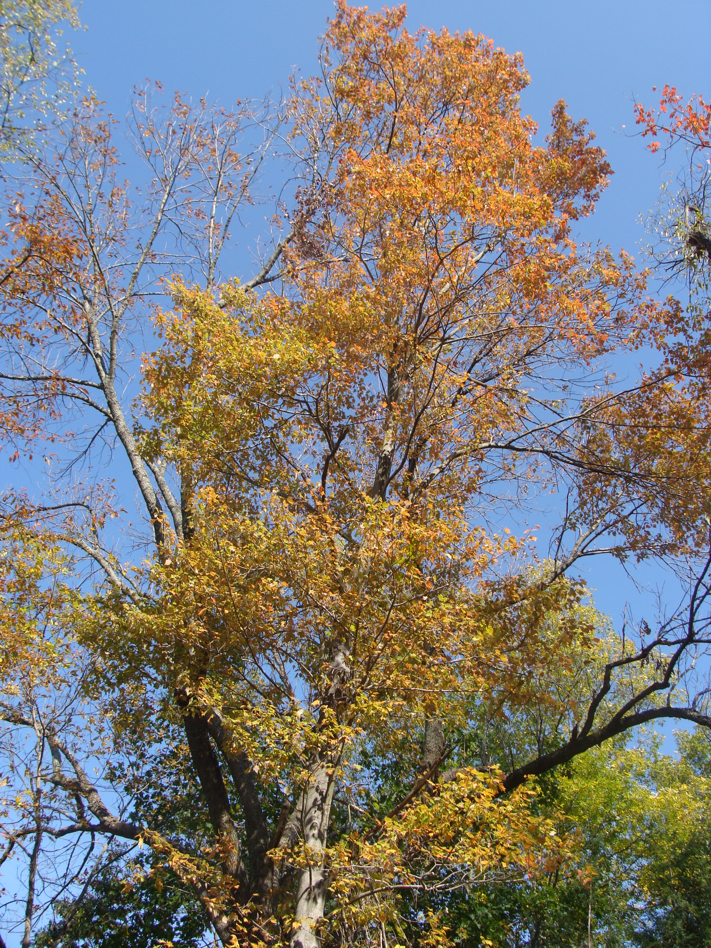 Ash Tree Leaves Autumn Leaves, is our ash tree at