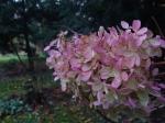 pink hydrangea bush late autumn PA snowball bush