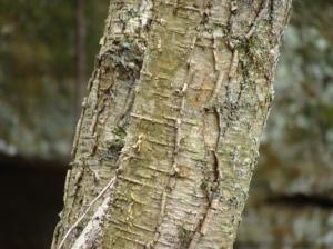 tree bark wintergreen smell