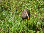 Circle B Bar Reserve Lakeland Florida birds eating snails