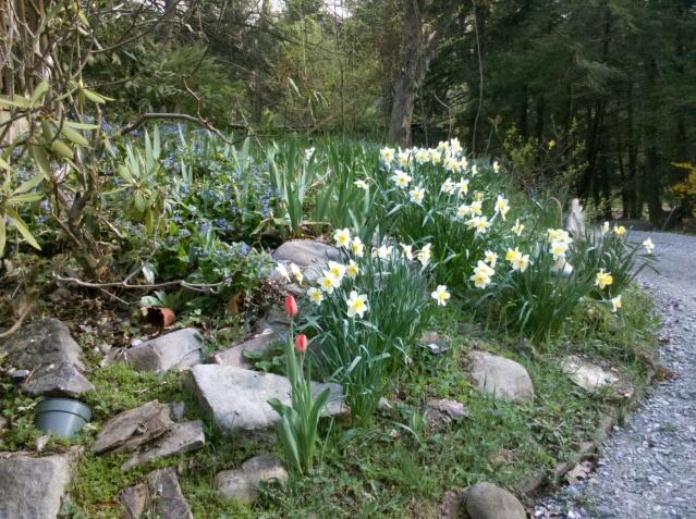 daffodil tulip lungwart bleeding heart spring flowers