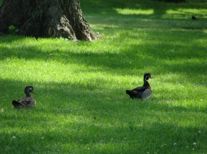 wood ducks Heartwell Park Hastings NE