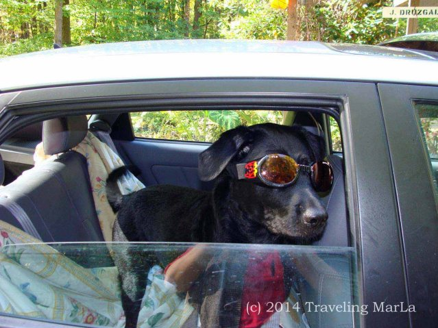 Baxter getting ready for his first ride in Doggles.