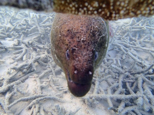 Giant moray eel checking us out.