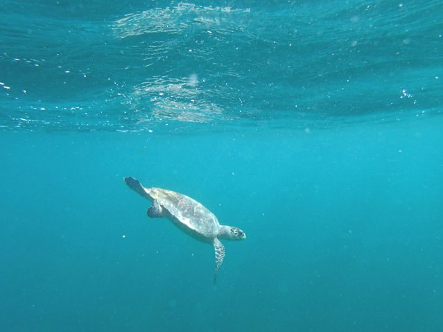 snorkeling in the Maldives Maldives travel where can you swim with sea turtles sea turtle conservation Maldives travel tips