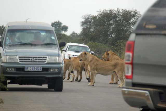 travel Africa lions