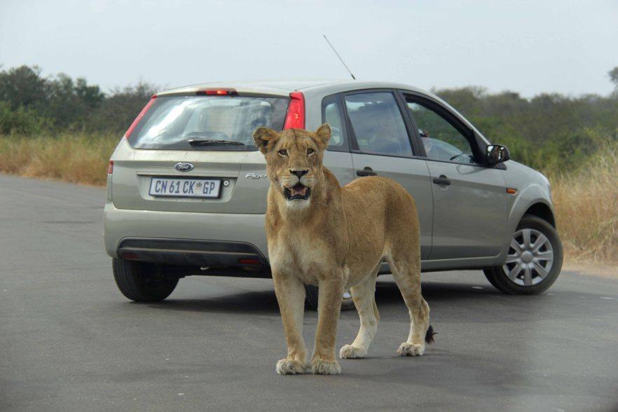 lioness travel Africa