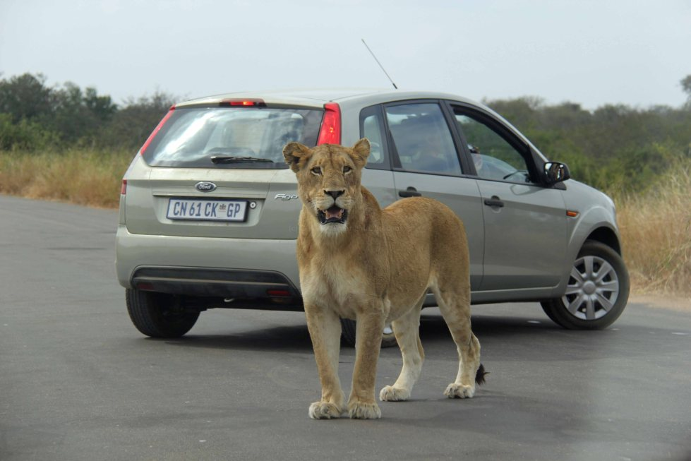 lioness travel Africa