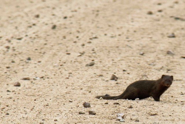 travel Africa mongoose