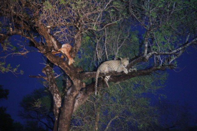 travel Africa leopard