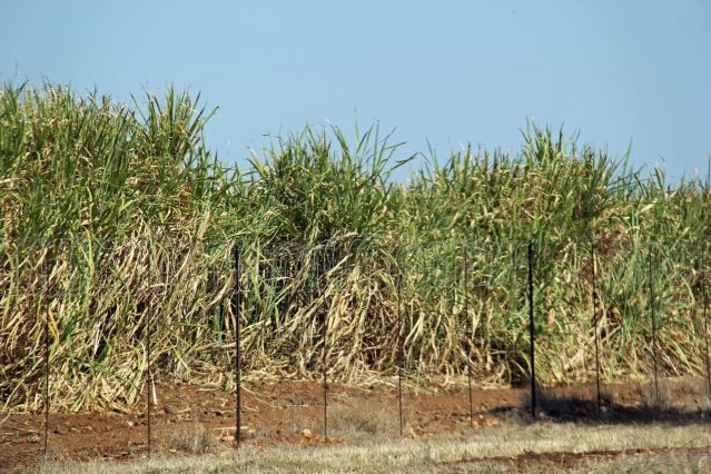 South Africa travel sugar cane