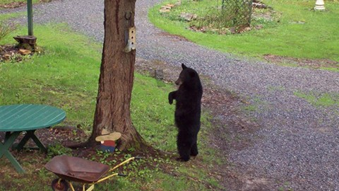 travel Pennsylvania black bear