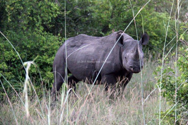 Africa travel tracking black rhino