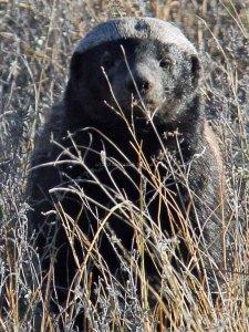 honey badger travel Botswana Africa